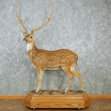 Axis Deer Standing Life Size Taxidermy Mount #12955 For Sale @ The Taxidermy Store