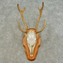 Axis Deer Skull & Antler European Taxidermy Mount For Sale