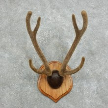 Axis Deer Plaque Mount For Sale #18342 @ The Taxidermy Store