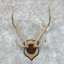Axis Deer Plaque Mount For Sale #22653 @ The Taxidermy Store