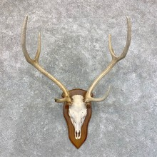 Axis Deer Plaque Mount For Sale #23558 @ The Taxidermy Store