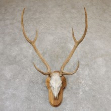 Axis Deer Skull & Horn European Mount For Sale #19020 @ The Taxidermy Store