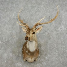 Axis Deer Shoulder Mount For Sale #17355 @ The Taxidermy Store
