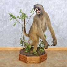 Chacma Baboon Life Size Taxidermy Mount For Sale