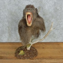 Chacma Baboon Pedestal Taxidermy Mount #12992 For Sale @ The Taxidermy Store