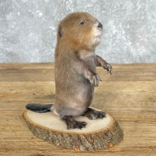 Baby North American Beaver Taxidermy Mount For Sale