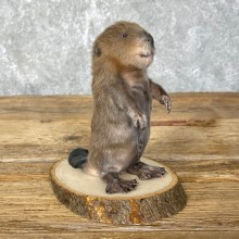 Baby North American Beaver Mount For Sale #24453 @ The Taxidermy Store