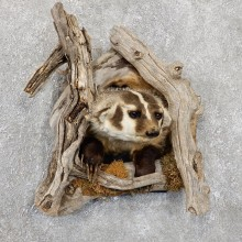 Badger Half Life-Size Taxidermy Mount #19409 For Sale @ The Taxidermy Store