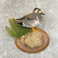 Baikal Teal Duck Taxidermy Bird Mount For Sale