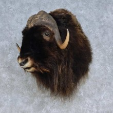 Barren Ground Muskox Taxidermy Shoulder Mount For Sale
