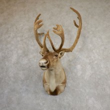 Central Canada Barren Ground Caribou Shoulder Mount For Sale #19852 @ The Taxidermy Store