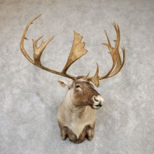 Barren Ground Caribou Shoulder Mount For Sale #19990 @ The Taxidermy Store
