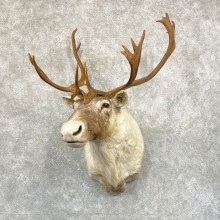 Barren Ground Caribou Shoulder Mount For Sale #24943 @ The Taxidermy Store