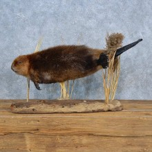 Beaver Life-Size Mount For Sale #15401 @ The Taxidermy Store