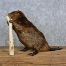 North American Beaver Shoulder Mount For Sale #15694 @ The Taxidermy Store