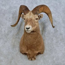 Bighorn Sheep Shoulder Mount For Sale #15013 @ The Taxidermy Store