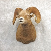 Bighorn Sheep Shoulder Mount For Sale #21315 @ The Taxidermy Store