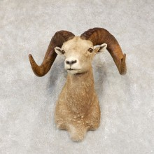 Bighorn Sheep Shoulder Mount For Sale #21433 @ The Taxidermy Store
