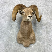 Bighorn Sheep Shoulder Mount For Sale #23082 @ The Taxidermy Store