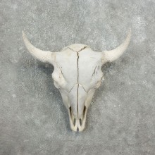 Buffalo Bison Skull Mount For Sale #17684 @ The Taxidermy Store
