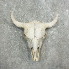 Buffalo Bison Skull Mount For Sale #17685 @ The Taxidermy Store