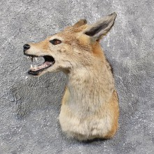 Black Backed Jackal Mount #11636 For Sale @ The Taxidermy Store