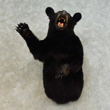 Black Bear 1/2-Life-Size Mount For Sale #16516 @ The Taxidermy Store