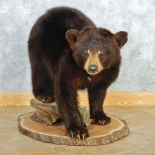 Black Bear Cub Taxidermy Mount #12678 For Sale @ The Taxidermy Store