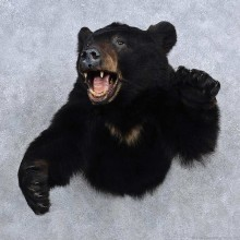Black Bear Half Life Size Mount For Sale #15687 @ The Taxidermy Store