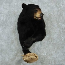 Black Bear Half-Life-Size Taxidermy Mount #13216 For Sale @ The Taxidermy Store