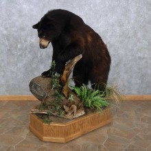 Black Bear Life-Size Mount For Sale #15640 @ The Taxidermy Store