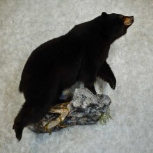 Black Bear Life-Size Mount For Sale #16041 @ The Taxidermy Store