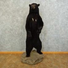 Black Bear Life-Size Mount For Sale #16280 @ The Taxidermy Store
