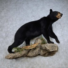 Black Bear Life-Size Mount For Sale #14352 @ The Taxidermy Store