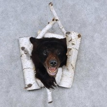 Black Bear Shoulder Mount For Sale #15668 @ The Taxidermy Store
