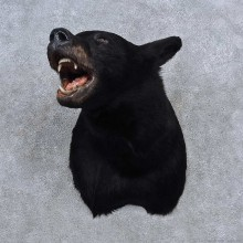Black Bear Shoulder Mount For Sale #15679 @ The Taxidermy Store