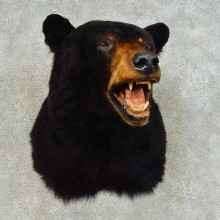 Black Bear Shoulder Mount For Sale #16342 @ The Taxidermy Store