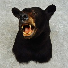 Black Bear Shoulder Mount For Sale #16343 @ The Taxidermy Store