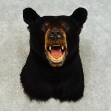 Black Bear Shoulder Mount For Sale #16344 @ The Taxidermy Store