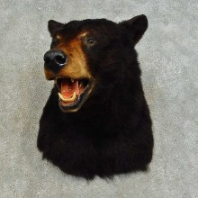 Black Bear Shoulder Mount For Sale #16345 @ The Taxidermy Store