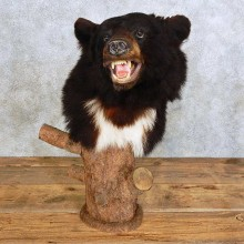 Black Bear Shoulder Pedestal Mount For Sale #15902 @ The Taxidermy Store