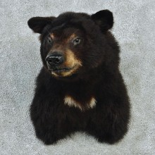 Black Bear Shoulder Taxidermy Head Mount #12720 For Sale @ The Taxidermy Store