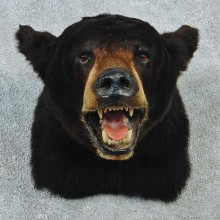 Black Bear Shoulder Taxidermy Head Mount #12764 For Sale @ The Taxidermy Store
