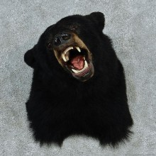 Black Bear Shoulder Taxidermy #13027 For Sale @ The Taxidermy Store