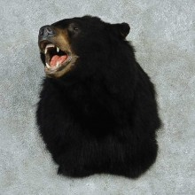 Black Bear Shoulder Taxidermy Mount #13239 For Sale @ The Taxidermy Store