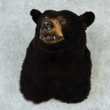 Black Bear Shoulder Taxidermy Mount #13264 For Sale @ The Taxidermy Store