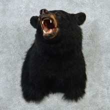 Black Bear Shoulder Taxidermy Mount #12873 For Sale @ The Taxidermy Store