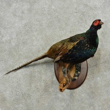 Black Pheasant Hen Bird Mount For Sale #16767 @ The Taxidermy Store