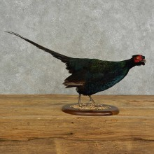 Black Pheasant Bird Mount For Sale #16941 @ The Taxidermy Store