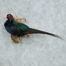 Perched Black Pheasant Life Size Mount #13659 For Sale @ The Taxidermy Store